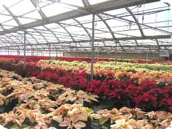 Poinsettia Greenhouse