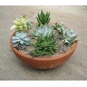 A36 Succulent Sensations Workshop 6/5 Thumbnail
